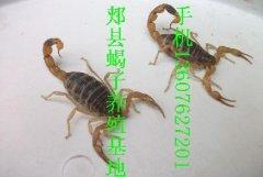 蝎子苗价格种蝎子怎么出售郏县种蝎多少钱一组