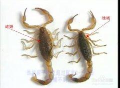 公蝎子和母蝎子的区别怎么分别公母蝎子