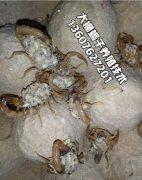 蝎子养殖官网分享蝎子养殖成功方法经验10条