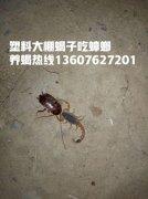 蝎子养殖哪里最多,蝎子养殖怎么样蝎子养殖电话