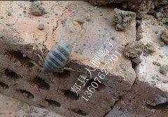作为全蝎治病方法,蝎子的用量多少合适(蝎子中国养殖网蝎子养殖百科