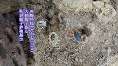 蝎子养殖门户网站曝光蝎子养殖户加盟蝎子养殖公司骗局