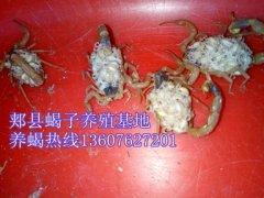 蝎子养殖电话蝎子养殖门户网站分享蝎子药方