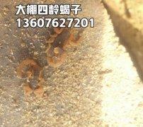 蝎子的毒性有什么作用,全蝎用量最多和最少是多少