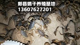 蝎子的电击取毒方法和最新野生蝎子价格行情表