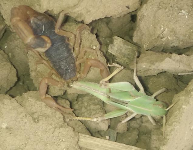 <b> 蝎子的养殖方式有哪些?适合新手养殖的蝎子有哪些?</b>