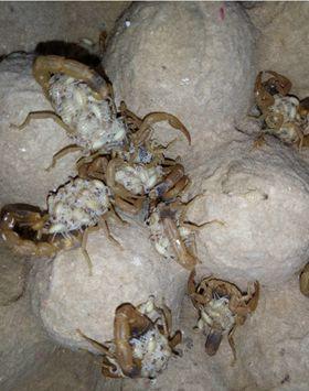 蝎子养殖效益如何,养蝎子的条件有哪些?