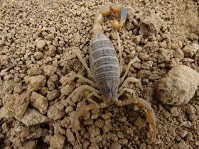 活蝎子可以直接吃吗?被蝎子蜇伤严重吗