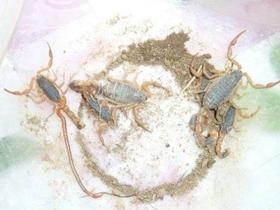 刚生完小蝎子之后要怎么养幼蝎养殖核心技术
