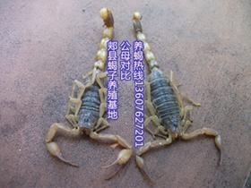 公母蝎子怎么辨别,雌雄蝎子区分方法