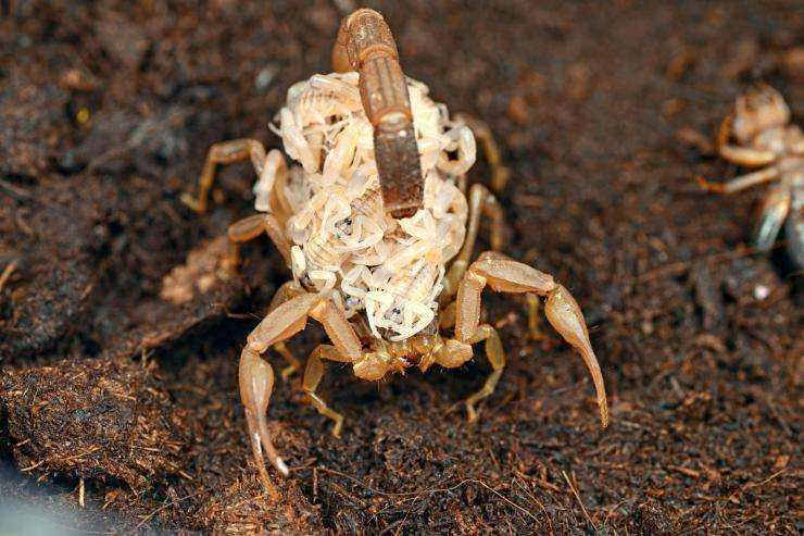 加盟蝎子养殖可靠吗?蝎子一窝产几个小蝎子?